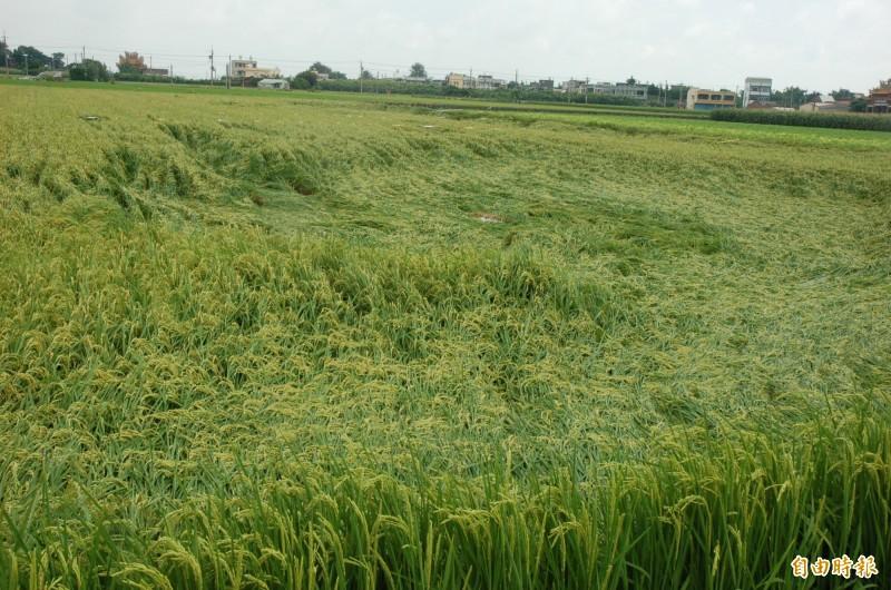極端氣候日益頻繁,農作物常面臨天災損害。(記者林國賢攝)