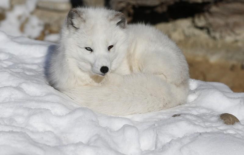 一隻北極狐76天穿越了3506公里,從挪威斯瓦爾巴群島跑到加拿大的埃爾斯米爾島,讓挪威極地研究所的科學家嚇得目瞪口呆。北極狐示意圖。(美聯社)