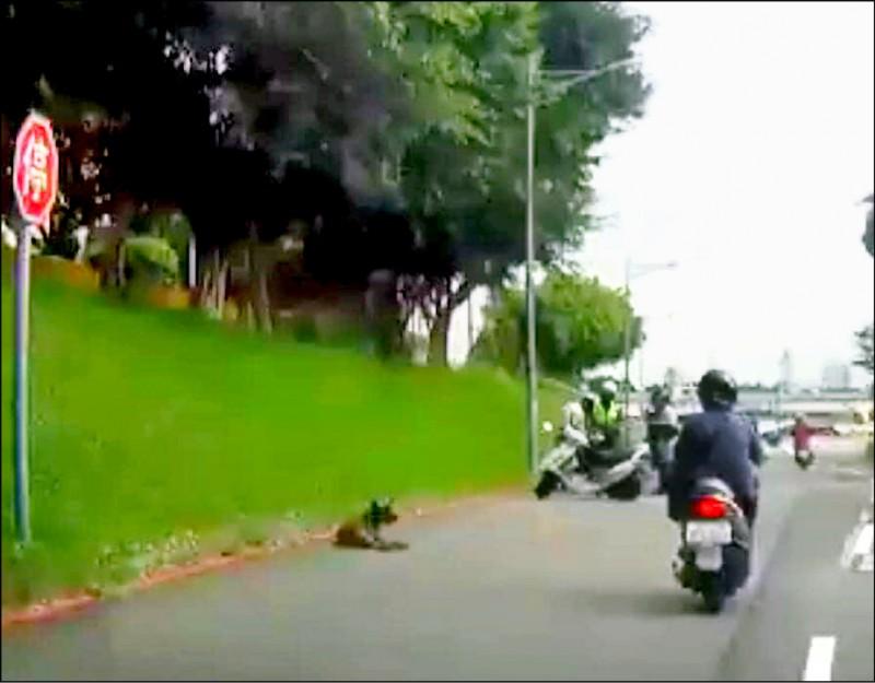 43歲張姓女騎士為了閃避犬隻(圖中犬隻),自摔後頭撞到路邊水泥塊,命為搶救中。(翻攝自【爆料公社二社】)