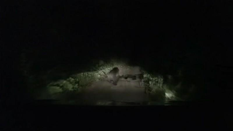 黑熊出現在清水林道上。(截圖行車記錄器)