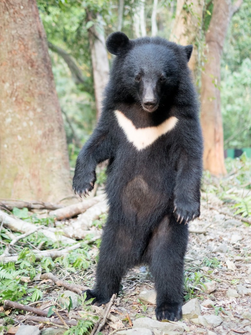 卓溪鄉清水林道6月29日有熊出沒,被警察目擊,警員推測熊站起來應該超過160公分,是成年的熊。(資料照,台灣黑熊保育協會提供)