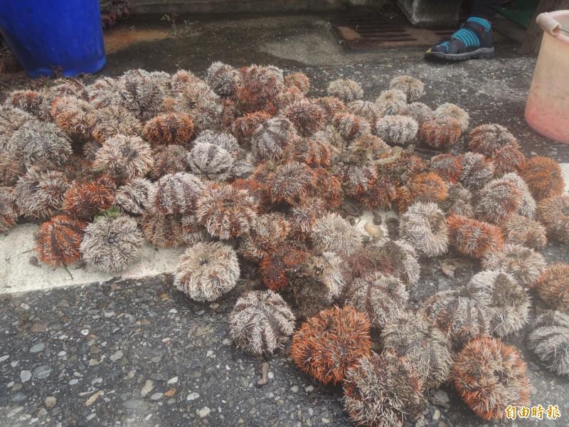 澎湖縣政府7日1日起開放採捕馬糞海膽,卻在3天之內幾乎採光,自然生態保育協會昨日表示,要讓資源永續,應推動社區自主管理,以及劃設保育區等配套措施,才是具永續性的做法。圖為馬糞海膽。(資料照)