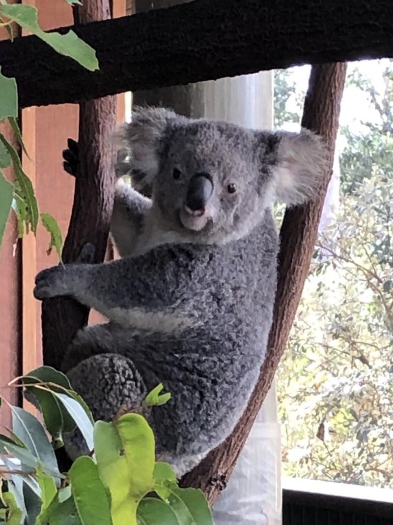澳洲國寶級動物無尾熊模樣超可愛。(南投縣政府提供)