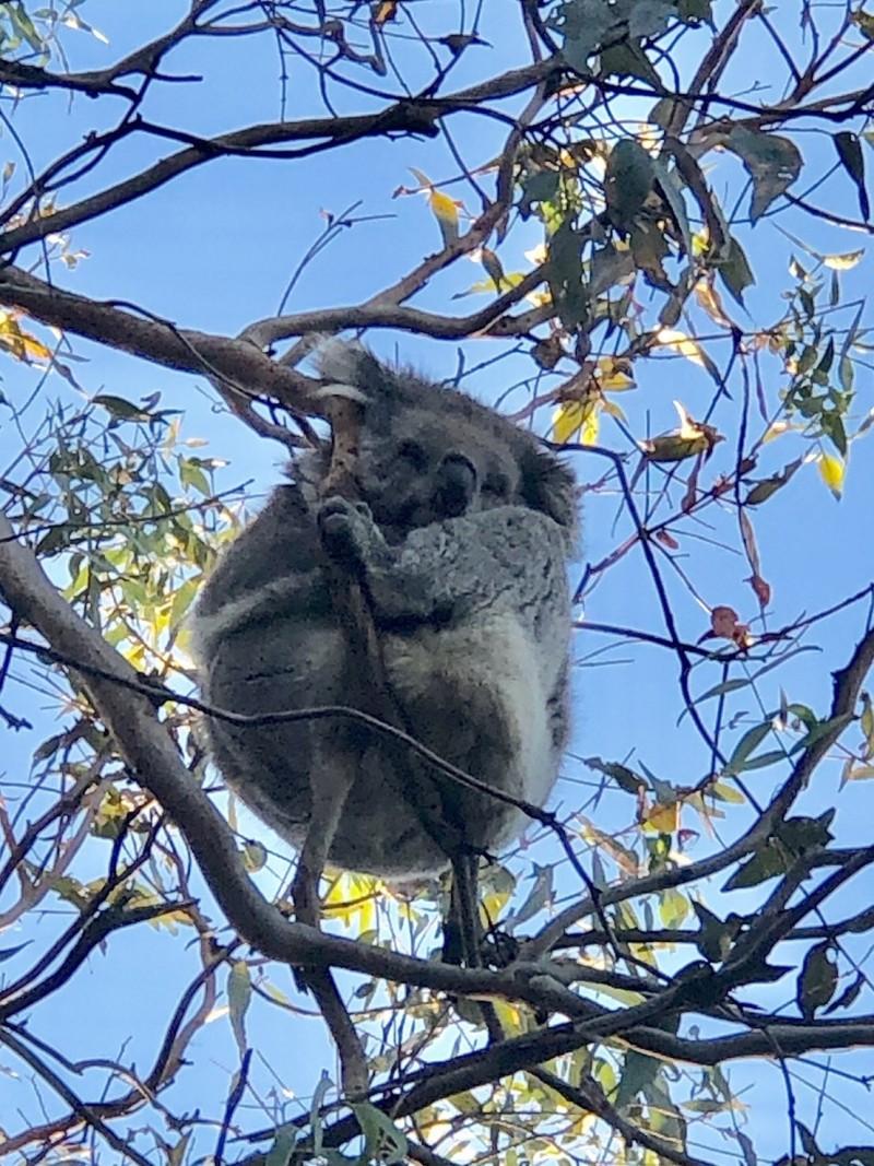 澳洲無尾熊食物是尤加利樹葉。(南投縣政府提供)