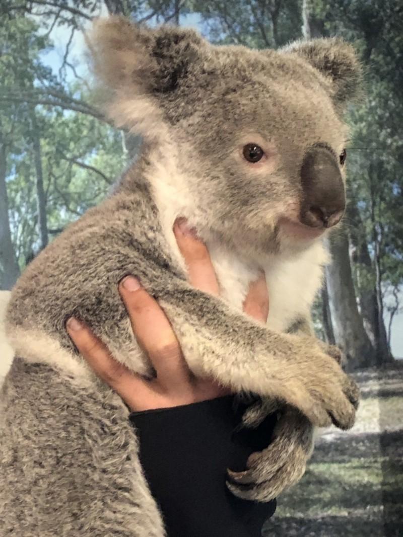 澳洲只有昆士蘭特定園區的無尾熊,能與遊客近距離接觸。(南投縣政府提供)