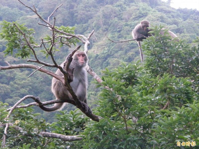 化名「劉家威」的男子,一再傳送威脅簡訊如「林北抓狂的時候就像猴子」,玉石商洪女萬分驚恐,考慮再三報警處理,檢方依恐嚇取財起訴劉及同夥陳男。圖為猴子照片。(資料照)