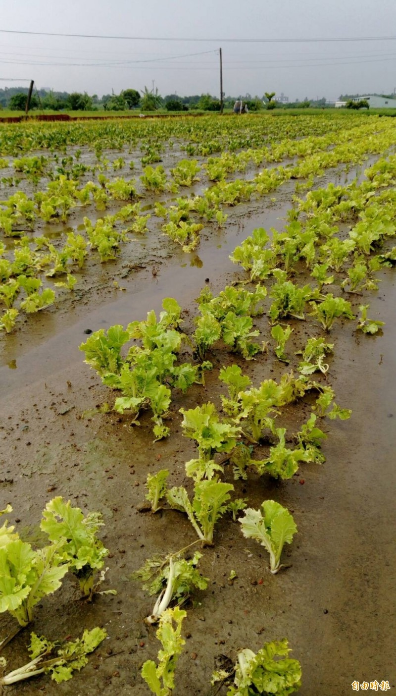 梓官蔬菜專區因連日下雨,造成葉菜類爛掉,已經無菜可採。(記者陳文嬋攝)