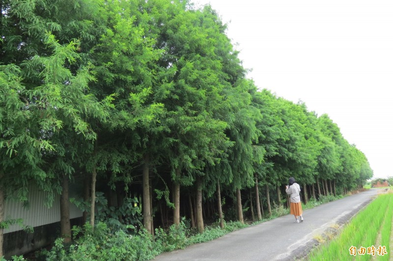 烏日大里交界處一處新秘境,上千株落羽松林矗立在田中,吸引民眾前往拍照。(記者蘇金鳳攝)