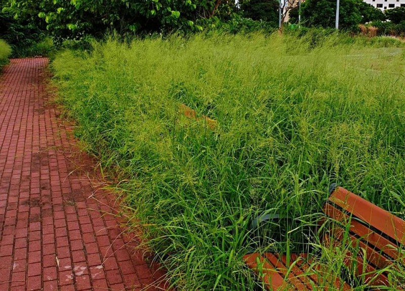 苗栗竹南大埔地區的休憩座椅被雜草覆蓋,幾不見蹤影。(翻攝苗栗縣議員宋國鼎臉書)