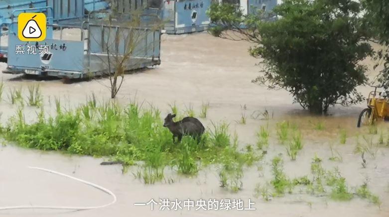 機場暴雨淹水,竟出現保護動物黑麂。(圖擷取自梨視頻)