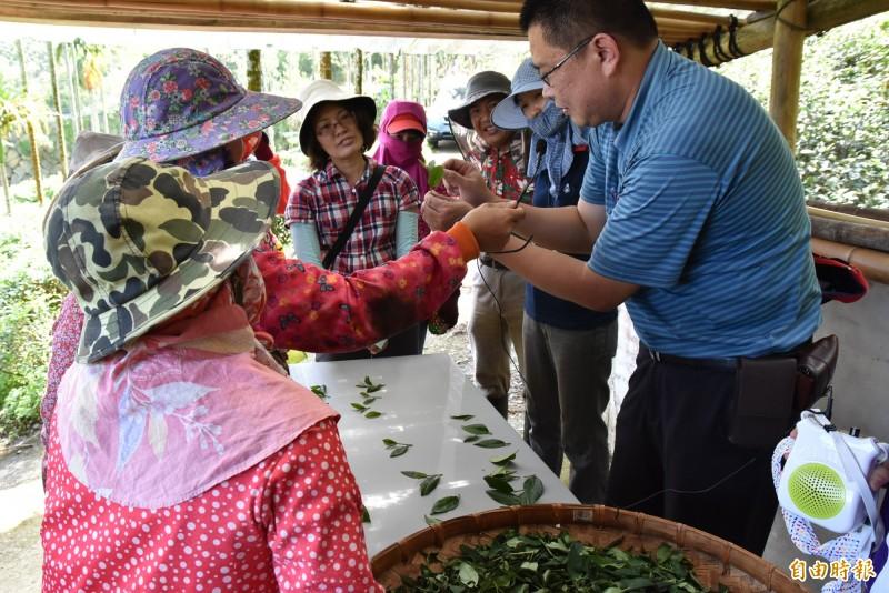 茶改場凍頂工作站站長林儒宏教桂林女茶隊成員如何正確採茶。(記者黃淑莉攝)