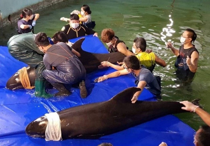 專案團隊全力搶救小虎鯨。(記者洪定宏翻攝)