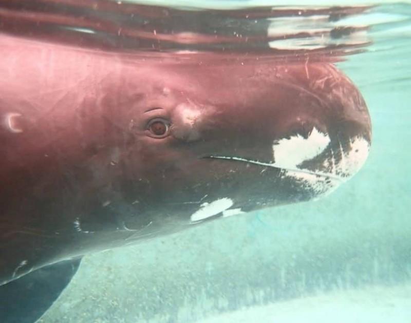 小虎鯨擱淺台灣,24年多達204隻。(記者洪定宏翻攝)