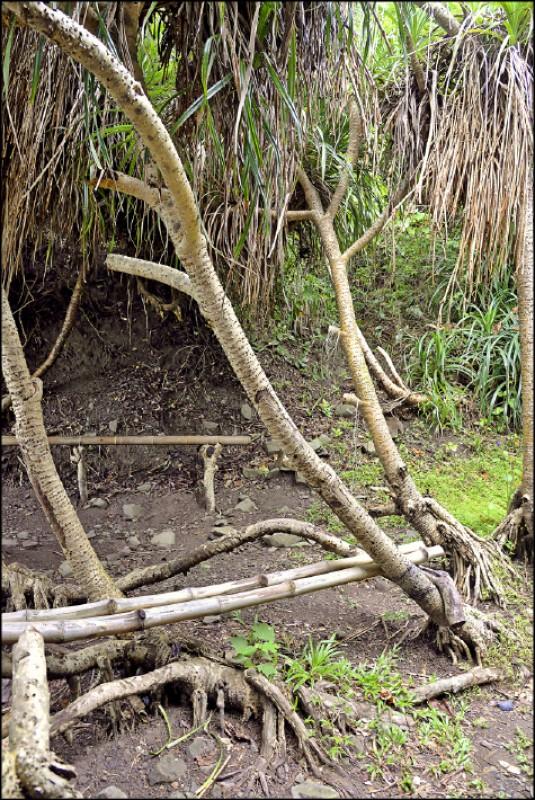 海岸林裡,當地人利用風剪樹架設竹椅當成中途的休憩點。(記者許麗娟/攝影)