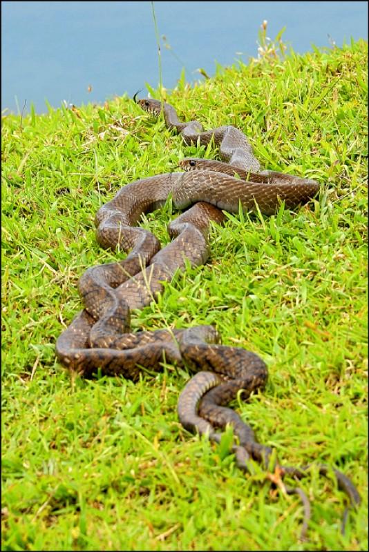 王錦蛇:草原巧遇正在交配的2隻「王錦蛇」,又叫臭青公、臭青母,雖然無毒,但也不便打擾牠們纏綿,只需繞路,不用過於害怕。(記者許麗娟/攝影)