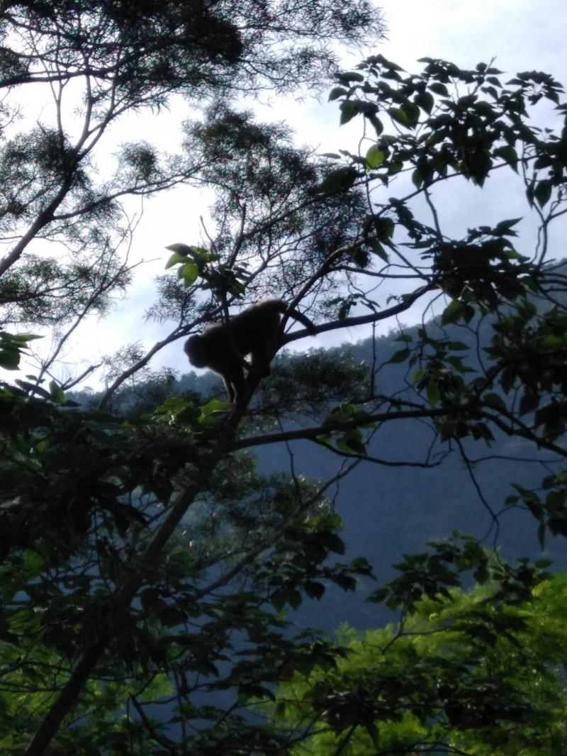 新竹縣尖石鄉高麗菜農羅慶郎家人所拍的野生獼猴,顯示猴群在尖石越來越活躍。(記者黃美珠翻攝)