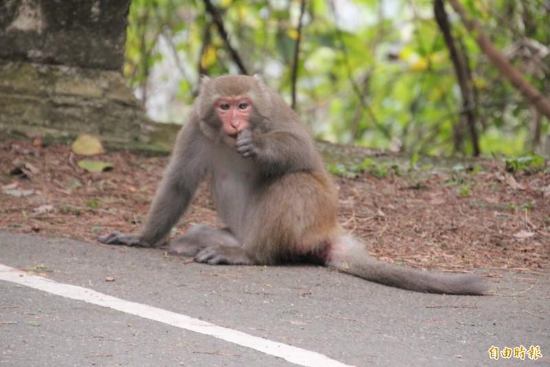 今年1月出現在新竹縣芎林鄉飛鳳山停車場的猴子,完全不怕生人靠近。(資料照,記者黃美珠攝)