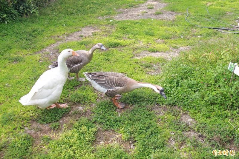 林女在自家農場飼養3隻鵝,因啼叫聲太大而遭鄰居持熱水澆鵝蛋報復。(記者陳冠備攝)