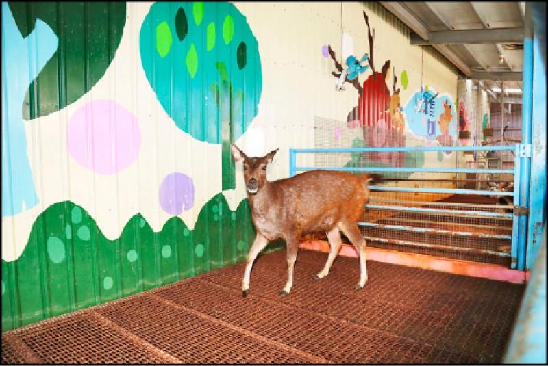 雖然餐廳以水鹿為名,但生性害羞的水鹿,經常躲在不見客的地方,想看到牠們可要碰點運氣。(記者陳宇睿/攝影)