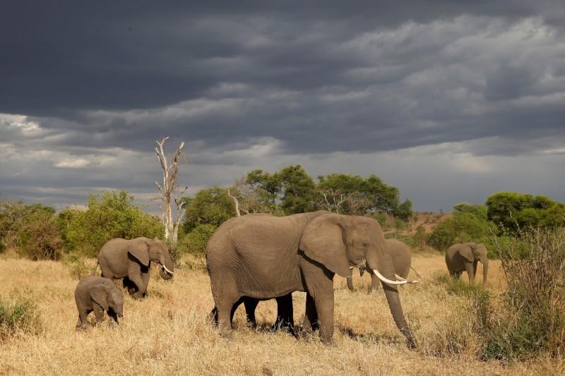 非洲象啃樹 意外對抗氣候變遷原因是…