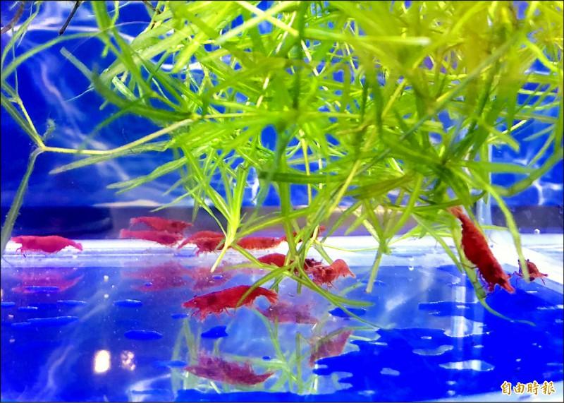 第二屆屏東縣觀賞魚國際交流賽將在八月底登場。 (記者羅欣貞攝)