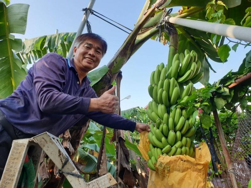 屏東縣內埔鄉60歲農民鍾龍玉種出自己愛吃的香蕉。(農糧署南區分署提供)
