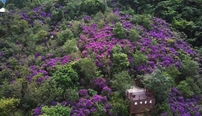 紫牡丹盛放山林中 台南梅峰山頭如仙境