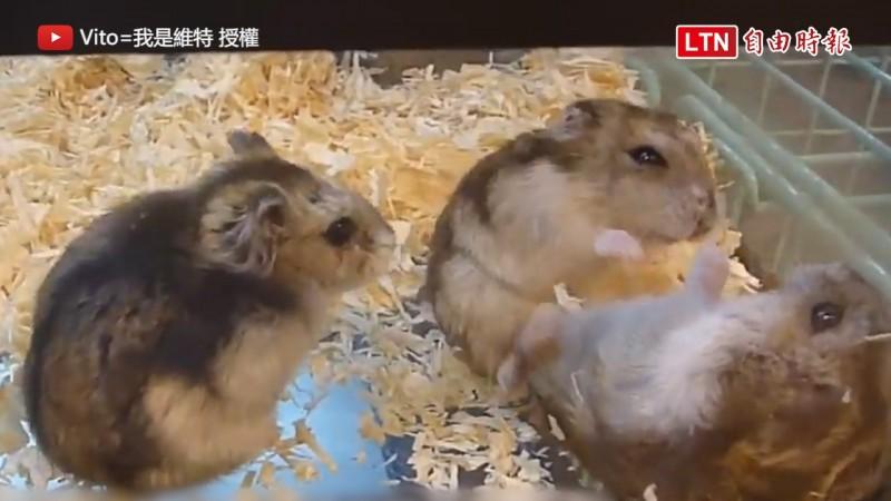 一整窩的倉鼠雖然看起來很可愛,但這樣養卻是在傷害倉鼠。(圖片由 Vito=我是維特 授權提供使用)