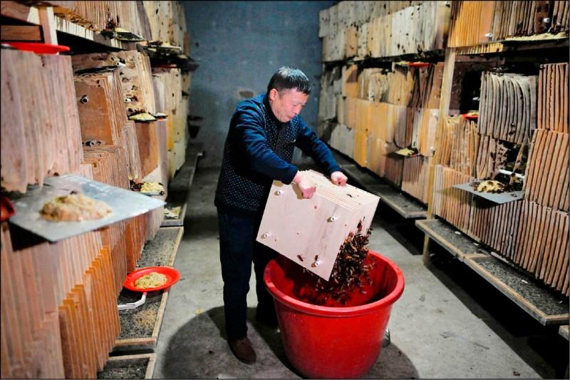 《中英對照讀新聞》Papa roach: Chinese farmer breeds bugs for the table 蟑螂老爹:中國農民養蟑螂上餐桌