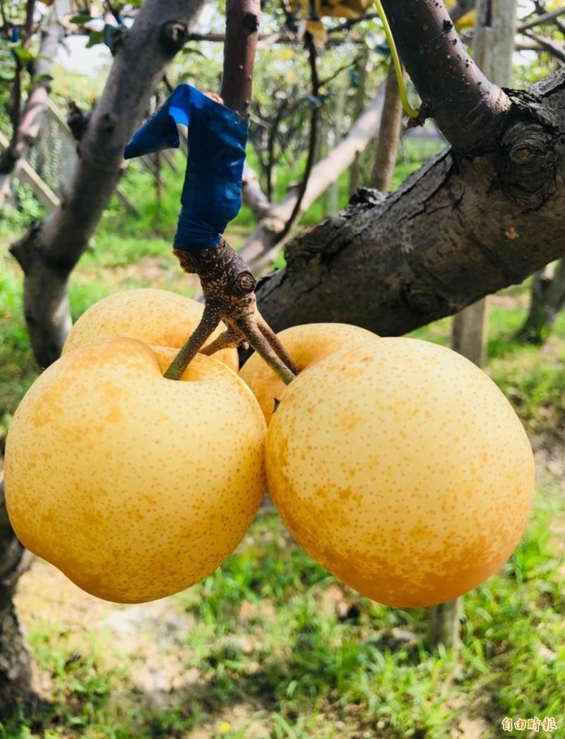 線西鄉果農王耀寬種植的黃金梨多汁、甜度高,外形飽滿,市場價格看俏。(記者湯世名翻攝)