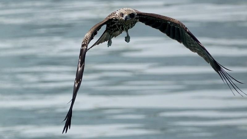 基隆港可見到5隻以上的幼鳥在空中盤旋飛翔,牠們身上的新生漂亮羽毛,相當吸睛。(基隆鳥會常務理事沈錦豐提供)