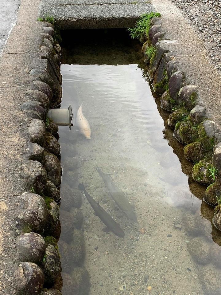 一名網友在臉書PO出日本一張水溝照片,只見水質清澈見底,還可以看到三條大魚在水中悠游。(網友提供)