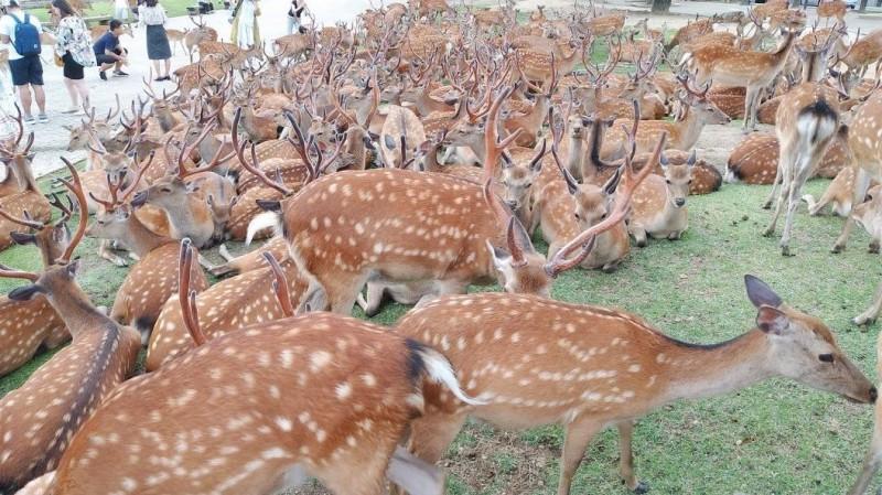 密集恐懼者慎入!奈良鹿每年夏季超神祕「鹿集會」 原因是...
