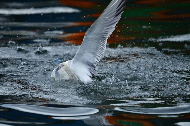 宜蘭大溪漁港一隻鳳頭燕鷗的頭部,被透明塑膠袋套住,俯衝海面試圖掙脫。(圖由拍鳥俱樂部陳志宏提供)