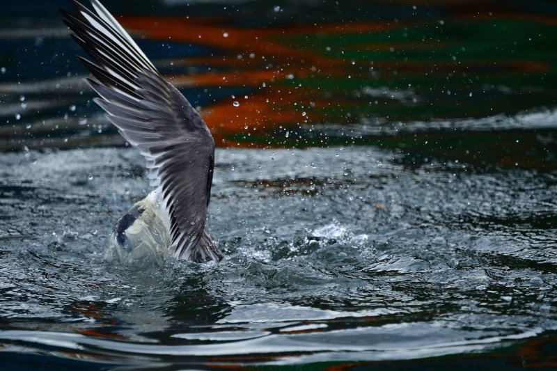 「卡袋」的鳳頭燕鷗,使出全身氣力在海面上掙扎。(圖由拍鳥俱樂部陳志宏提供)