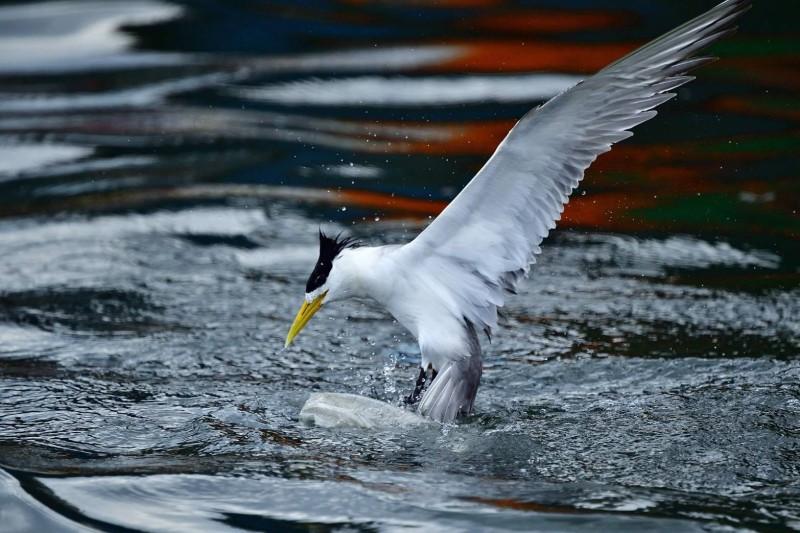 「卡袋」的鳳頭燕鷗發揮求生本能,順利掙脫卡在頭部的塑膠袋。(圖由拍鳥俱樂部陳志宏提供)
