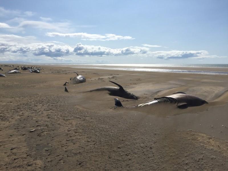 冰島海岸有50頭領航鯨擱淺死亡。(路透)