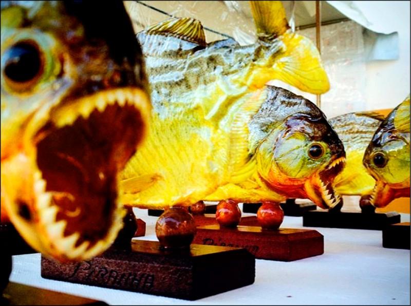 英國每日星報聲稱,金正恩在他平壤的龍城官邸裡,建造一座食人魚池,最近用來殺害一名將軍。圖為巴西食人魚標本。(美聯社檔案照)