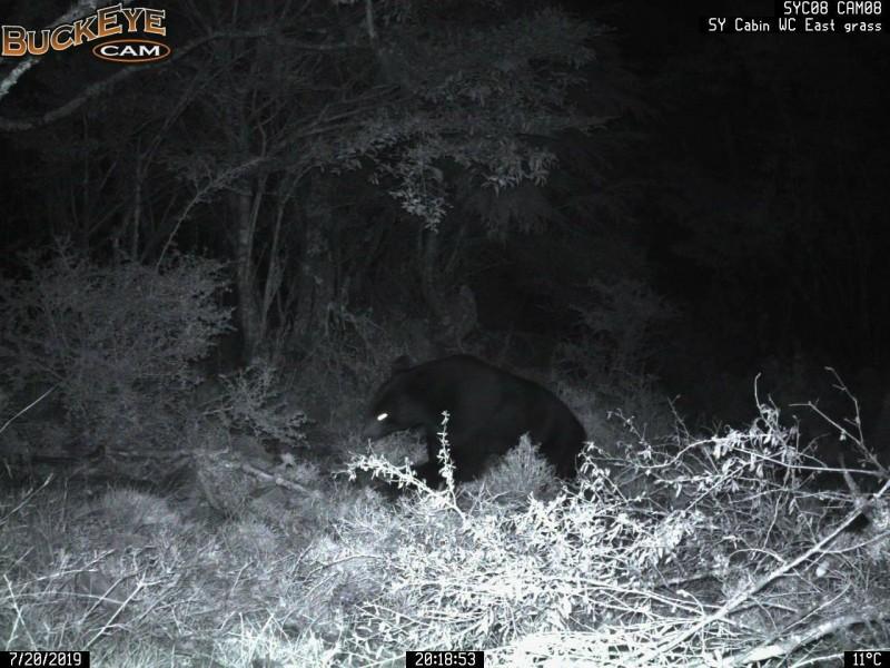 向陽山屋台灣黑熊預警系統於20日偵測並自動拍攝到的台灣黑熊。(記者黃明堂翻攝)