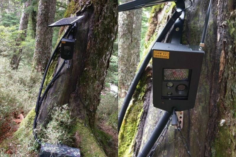 向陽山屋架設的台灣黑熊預警系統於6月啟用,7月20日偵測並自動拍攝到的台灣黑熊。(記者黃明堂翻攝)