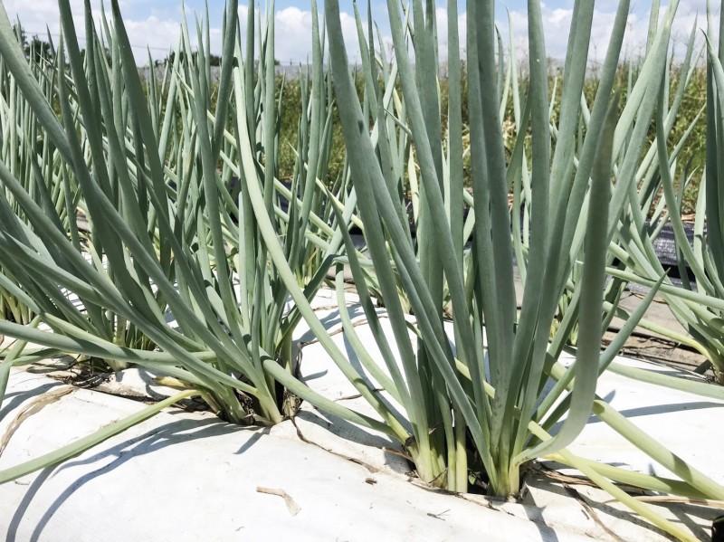 鳳試所推出耐熱青蔥,適合夏季種植。(記者陳文嬋攝)
