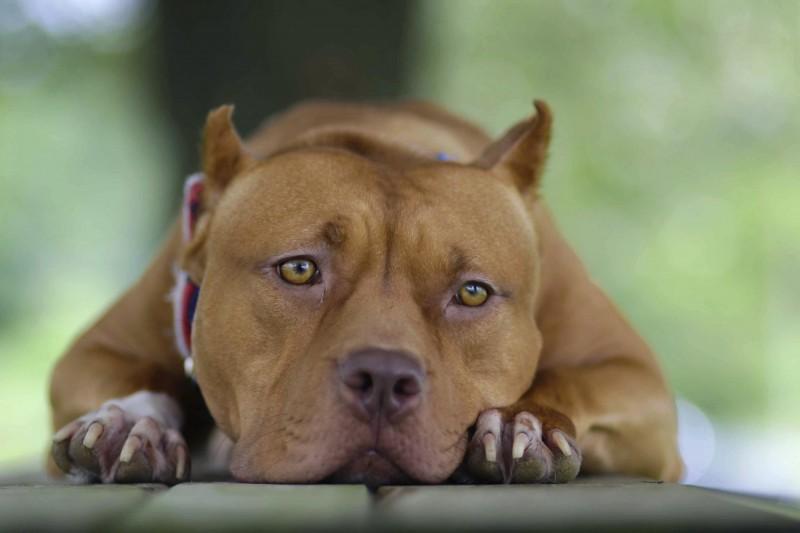 美國阿拉巴馬州動物收容所2隻比特犬闖入貓咪區,一共咬死29隻貓。比特犬示意圖。(美聯社)