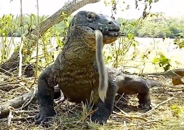 科摩多龍6口就將猴子完全吞下肚。(翻攝自英國每日郵報)