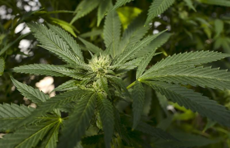 美國紐約州州長科莫昨日簽署新法案,表示將對娛樂用大麻除罪化。(美聯社)