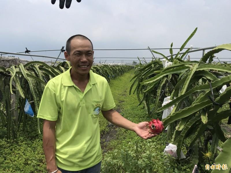 青農蔡永順以有機的方式栽種紅龍果,目前仍在有機轉型期,順利奪下紅龍果果王。(記者萬于甄攝)