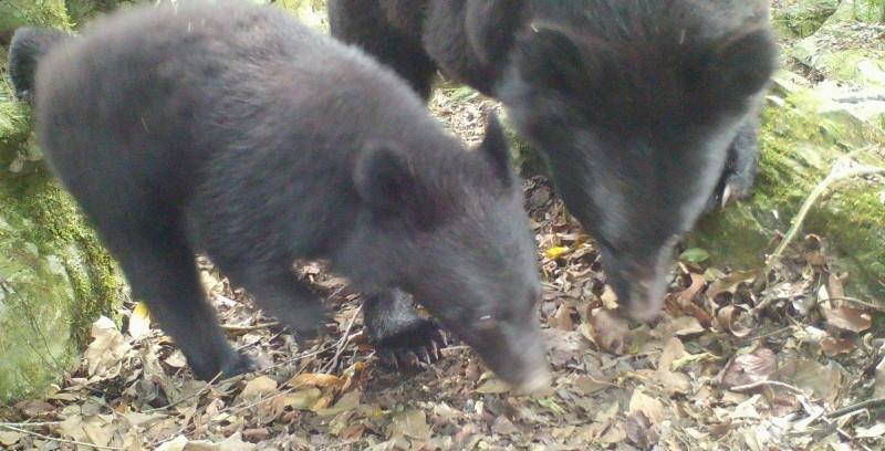 林務局7月30日架設自動相機,當天稍晚拍到母熊(右)帶著小熊覓食。(林務局花蓮林管處提供)