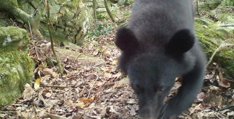 林務局30日架設自動相機拍到正港黑熊媽媽,帶著小熊在山區活動。(林務局花蓮林管處提供)