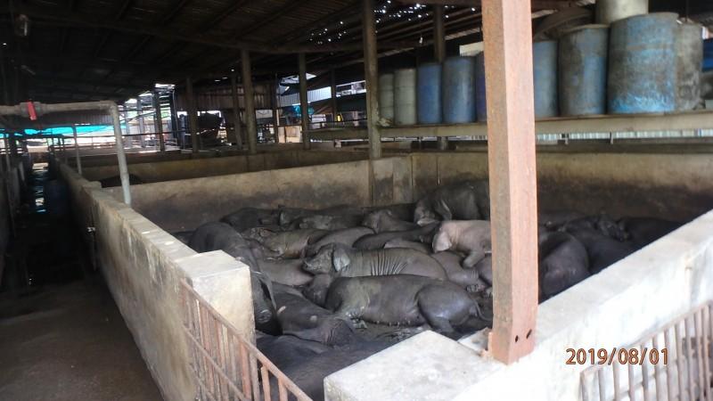 農業局人員到平鎮雙連地區養豬場稽查。(農業局提供)