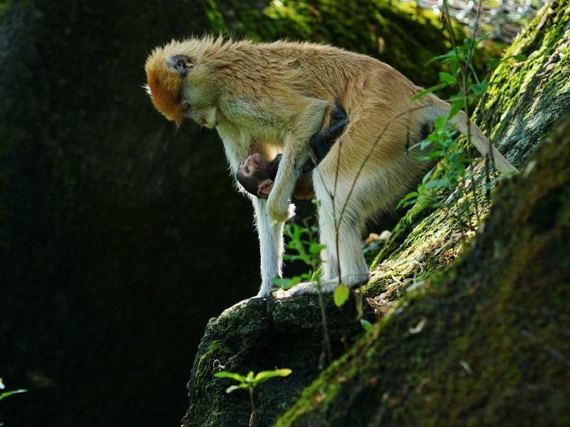 紅猴媽媽「星儒」對孩子毫無保留的母愛。(台北市立動物園提供)