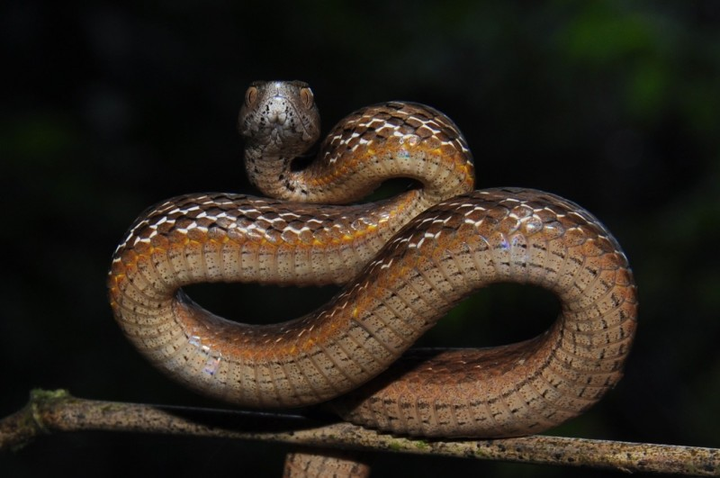 茶斑蛇毒性低,在野外可用樹枝打草驚蛇,避免與蛇不期而遇,圖為茶斑蛇成體。(民眾沈揮勝提供)